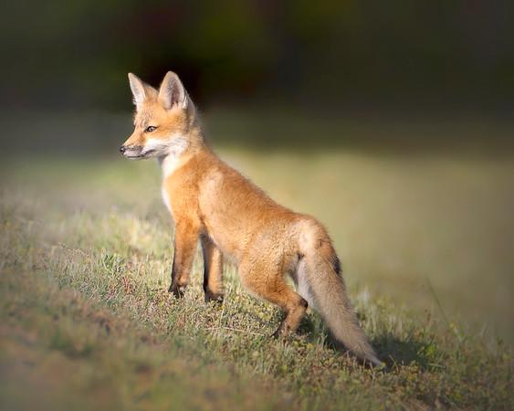 Fort Monroe Virginia Red Fox Kit