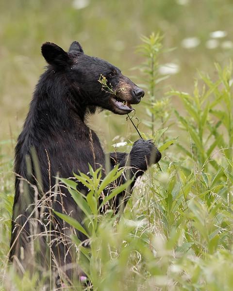 Great Smoky Mountains National Park Black Bear
