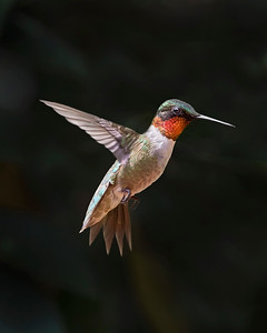 Williamsburg Ruby-throated Hummingbird