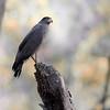 Bandhavgarh National Park Crested Serpent Eagle