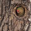 Bandhavgarh National Park Alexandrine Parakeet