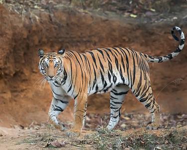 Bandhavgarh National Park Bengal Tiget