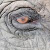 Bandhavgarh National Park Asian Elephant Eye