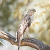 Bandhavgarh National Park Crested Hawk Eagle