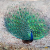 Bandhavgarh National Park Peacock