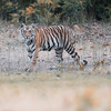 Kanha National Park Bengal Tiger