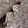 Bandhavgarh National Park Spotted Owlets