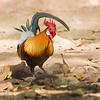 Bandhavgarh National Park Red Junglefowl