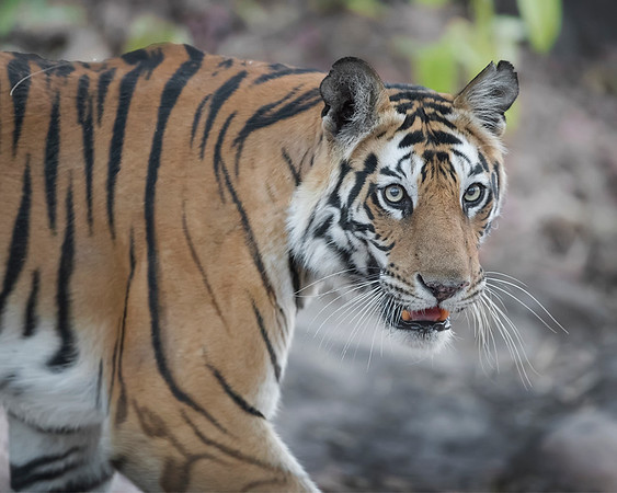 Bandhavgarh National Park Bengal Tiger