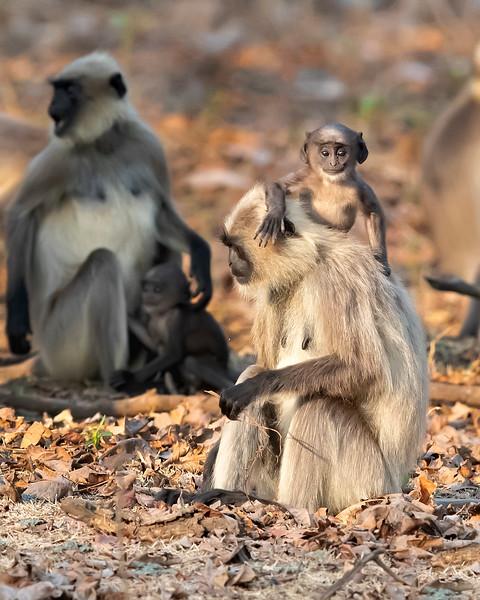 Nagarhole National Park Black-faced Langur Monkey