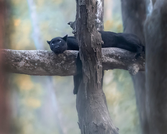 Nagarhole National Park Black Panther (black leopard)