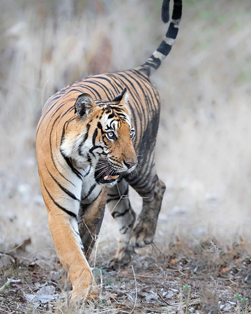 Nagarhole National Park Tiger
