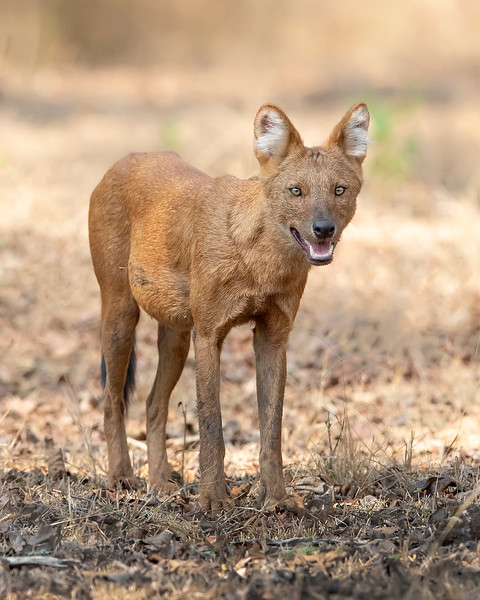 Nagarhole National Park Dhole or Asian Wild Dog