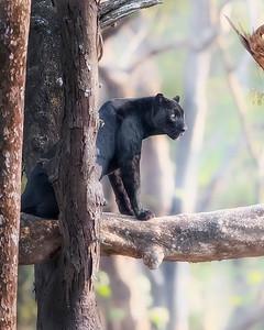 Nagarhole National Park Black Panther (black leopard)