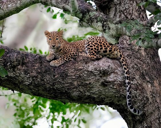 Nagarhole National Park Leopard
