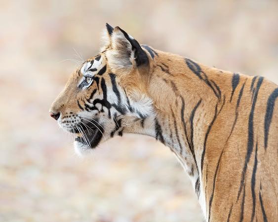 Bandhavgarh National Park Tiger