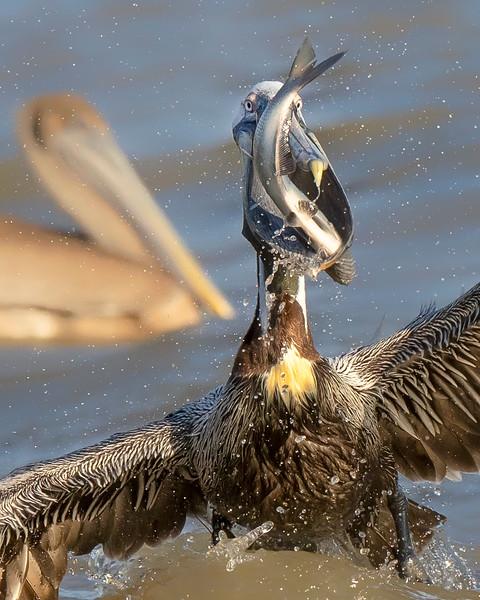 James River Virginia Pelican