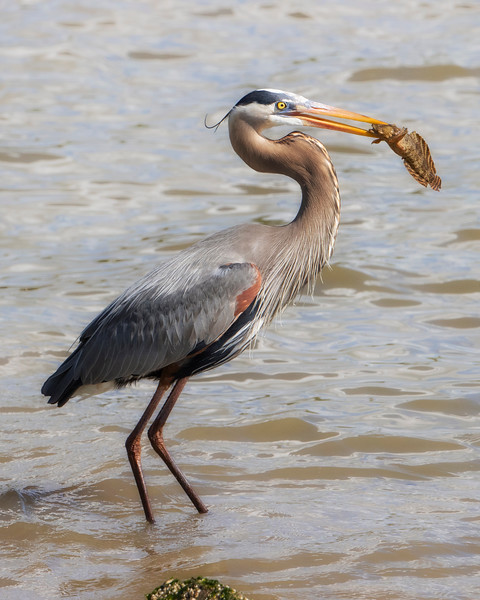 James River Great Blue Heron