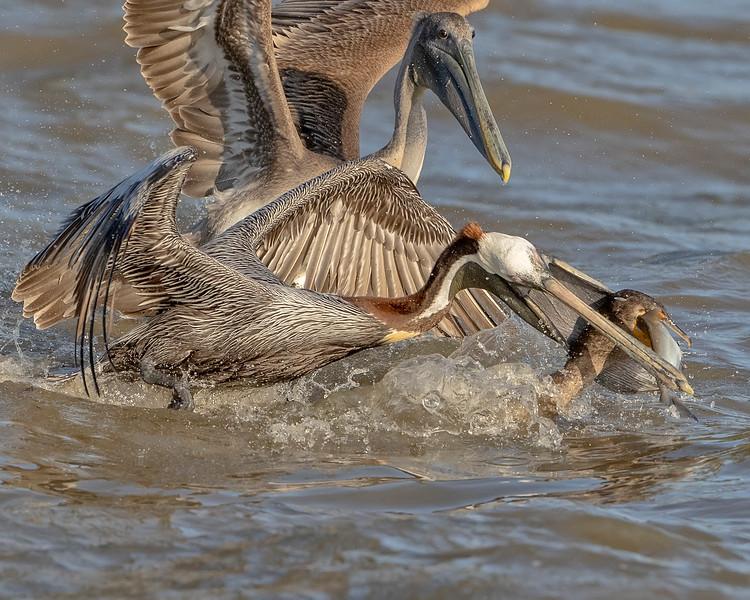 James River Virginia Pelican & Cormorant
