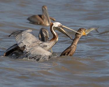 James River Virginia Pelican & Osprey
