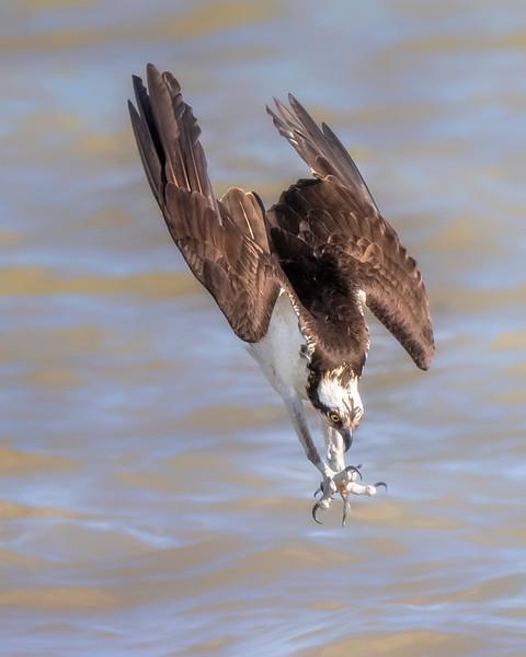James River Virginia Osprey