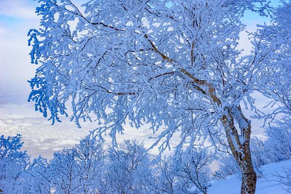 Snow covered birch tree, Hokkaido, Japan