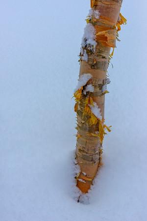Birch bark, Hokkaido, Japan