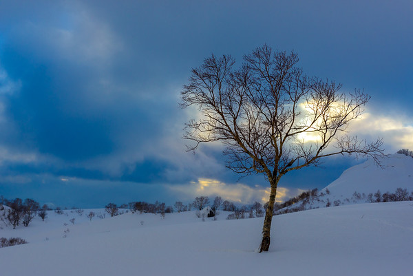 Birch tree in winter, Hokkaido, Japan