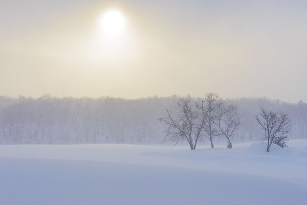 Birch trees in winter, Hokkaido, Japan