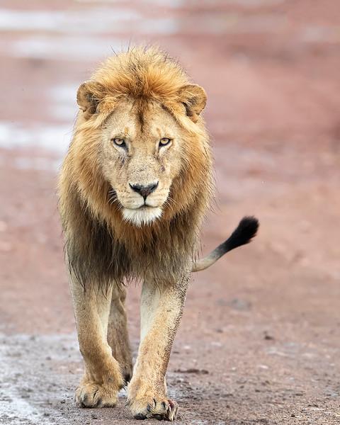 Masai Mara Male Lion
