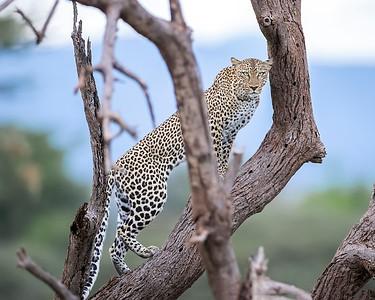 Samburu National Reserve Leopard