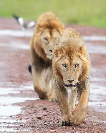 Masai Mara Male Lions