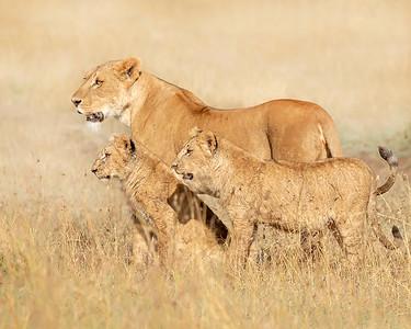 Ol Pejeta Conservancy Lions