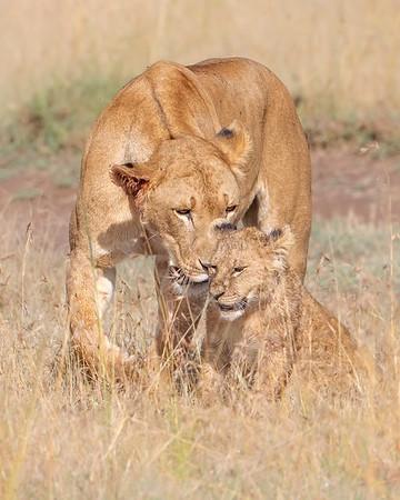 Ol Pejeta Conservancy Lion Mother & Cub