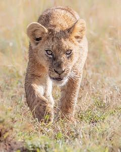 Ol Pejeta Conservancy Lion Cub