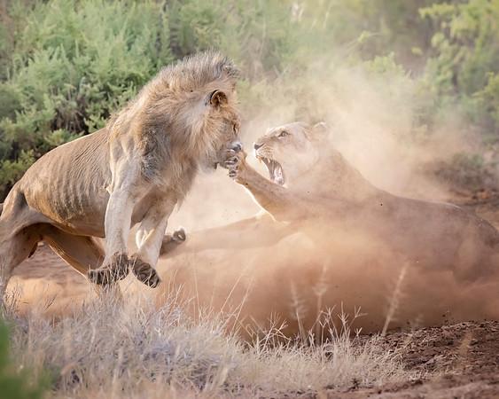 Samburu Lions