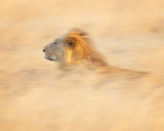 Ol Pejea Lion