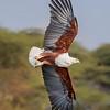 Lake Naivasha African Fish Eagle