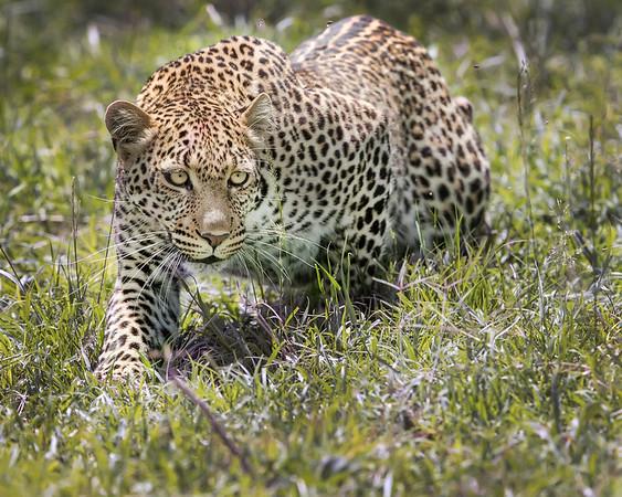Masai Mara Leopard