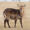 Masai Mara Waterbuck