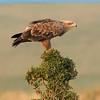 Masai Mara Tawny Eagle