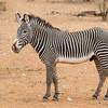 Samburu Grevys Zebra