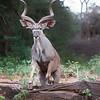 Samburu Kudu