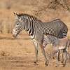 Samburu Grevys mother and infant Zebra