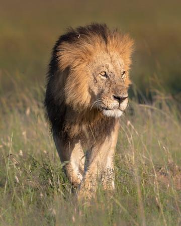 Maasai Mara Lion