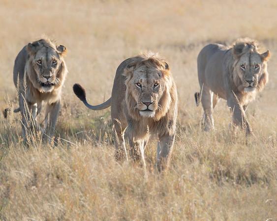 Maasai Mara Lion Coalition