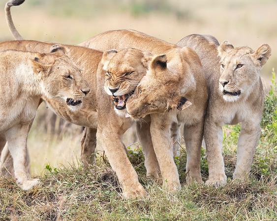 Maasai Mara Lion Pride