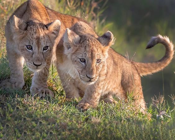 Maasai Mara Lion Cubs