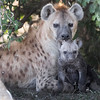 Maasai Mara Hyena Mother and Young