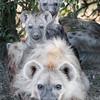 Maasai Mara Hyena Family Mother and Young
